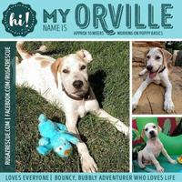 Adopt A Pet :: Orvile - New Port Richey, FL