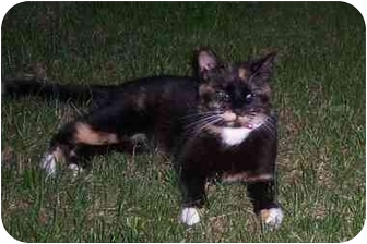 Calico Cat for adoption in Quincy, Massachusetts - VERY URGENT!: Lacy