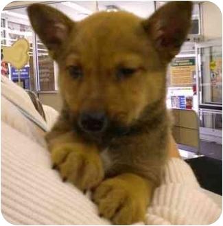 Shepherd (Unknown Type)/German Shepherd Dog Mix Puppy for adoption in Broomfield, Colorado - Lil' Bear