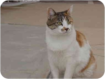 Domestic Shorthair Cat for adoption in Washington Terrace, Utah - Cali