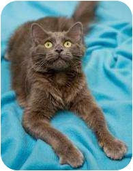 Domestic Longhair Cat for adoption in Chicago, Illinois - Poppy
