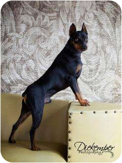 Miniature Pinscher Dog for adoption in Vandalia, Illinois - Niko