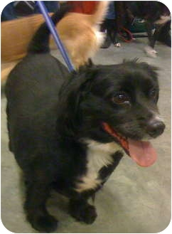 Cocker Spaniel Mix Dog for adoption in Loudonville, New York - Brady (formerly Crisco)