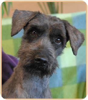 Schnauzer (Miniature) Mix Dog for adoption in Las Vegas, Nevada - Zack