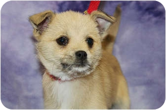 Terrier (Unknown Type, Small)/Chihuahua Mix Puppy for adoption in Broomfield, Colorado - Topaz