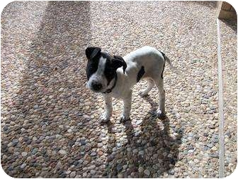 Pointer/Labrador Retriever Mix Puppy for adoption in Waller, Texas - Dewey