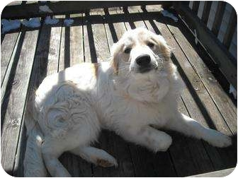 Great Pyrenees Puppy for adoption in Wayne, New Jersey - Yetti