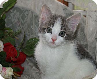 Domestic Shorthair Kitten for adoption in Berlin, Connecticut - Farra