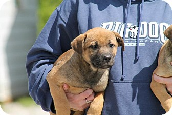 Shepherd (Unknown Type)/Anatolian Shepherd Mix Puppy for adoption in Edgewater, New Jersey - Harley