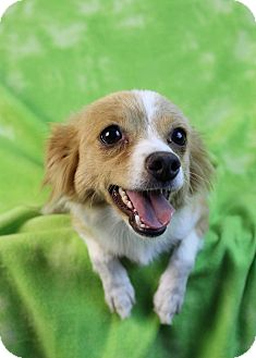 Chihuahua/Papillon Mix Dog for adoption in Westminster, Colorado - Babette