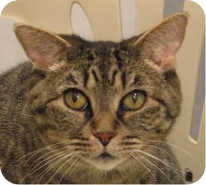 Domestic Shorthair Cat for adoption in Ithaca, New York - LuLu 14184-c