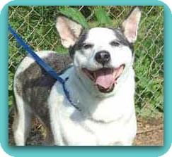 Australian Cattle Dog Mix Dog for adoption in Marietta, Georgia - JACKSON - see video