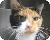 Calico Cat for adoption in Tinton Falls, New Jersey - Momma Yasmin