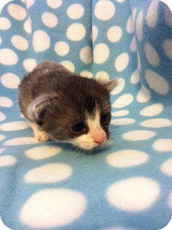 Domestic Shorthair Kitten for adoption in Union, Kentucky - Lysander