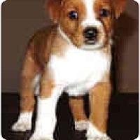 Adopt A Pet :: Ranger - Mesa, AZ