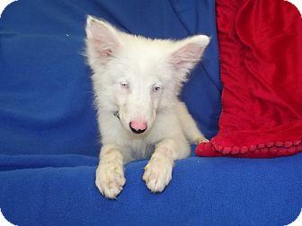 Australian Cattle Dog/German Shepherd Dog Mix Puppy for adoption in Marshall, Texas - Cotten