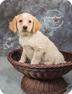 Australian Cattle Dog/Blue Heeler Mix Puppy for adoption in Cincinnati, Ohio - Rose