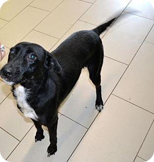Labrador Retriever Mix Dog for adoption in Philadelphia, Pennsylvania - Lady