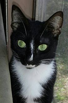 Domestic Shorthair Cat for adoption in Middleburg, Florida - ♥ Prank ♥