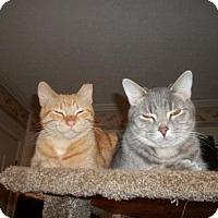 Domestic Shorthair Cat for adoption in Evansville, Indiana - Chrome
