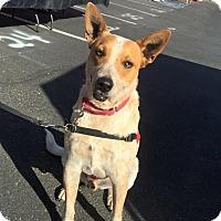 Adopt A Pet :: HYNDO - Gilbert, AZ