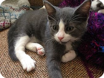Domestic Shorthair Kitten for adoption in Homewood, Alabama - Thufir