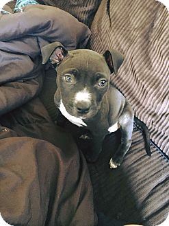 American Staffordshire Terrier Mix Puppy for adoption in St Helena, California - Luna