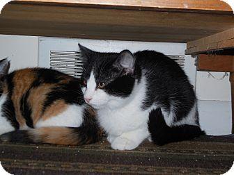 Domestic Shorthair Kitten for adoption in CARVER, Massachusetts - Sammy