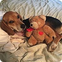 Adopt A Pet :: Simon - Shelter Island, NY