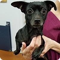 Adopt A Pet :: Salsa - College Station, TX