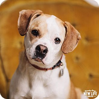 Beagle/Boxer Mix Dog for adoption in Portland, Oregon - Pixie
