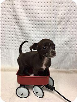Dachshund/Chihuahua Mix Puppy for adoption in Tehachapi, California - Sweetie Pie