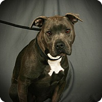 Adopt A Pet :: Dexter - Toms River, NJ