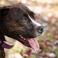 Adopt A Pet :: Apollo - Evansville, IN