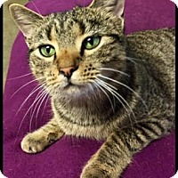 Domestic Shorthair Cat for adoption in Jasper, Indiana - Tigger- SPONSORED ADOPTION FEE