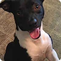 Adopt A Pet :: Domino - Fort Atkinson, WI