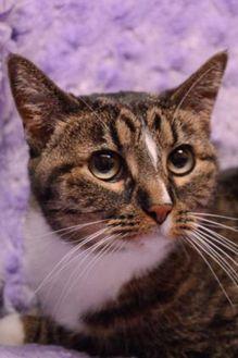 Domestic Shorthair/Domestic Shorthair Mix Cat for adoption in Salina, Kansas - Gin(Tiger)