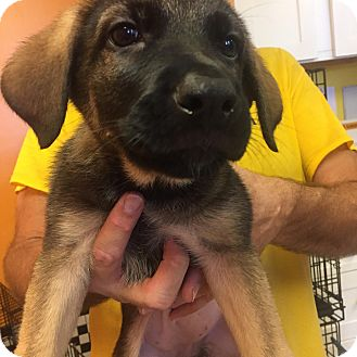 Pointer Mix Puppy for adoption in Boca Raton, Florida - Biscuit