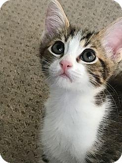 Domestic Shorthair Kitten for adoption in Mission Viejo, California - London