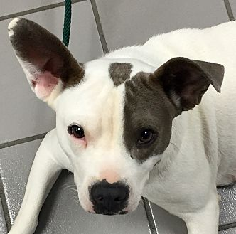 Boston Terrier/French Bulldog Mix Dog for adoption in PARSIPPANY, New Jersey - BREE