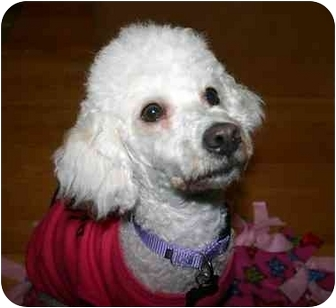 Bichon Frise Mix Dog for adoption in La Costa, California - Emmy