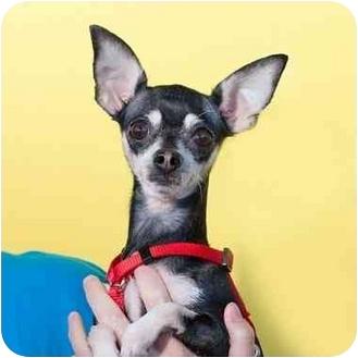Chihuahua Mix Dog for adoption in San Diego, California - Lola