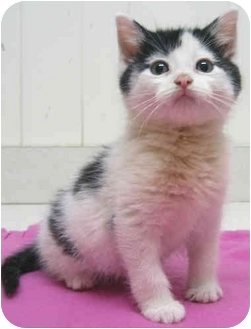 Domestic Mediumhair Kitten for adoption in Mt. Prospect, Illinois - Jack