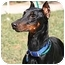 Photo 1 - Doberman Pinscher Dog for adoption in New Orleans, Louisiana - Lucky II