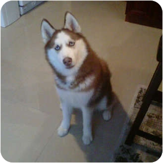 Siberian Husky/Husky Mix Puppy for adoption in Huntington Station, New York - Mac