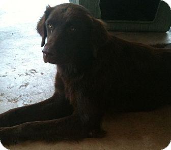 Flat-Coated Retriever Mix Dog for adoption in Hammond, Louisiana - Autumn