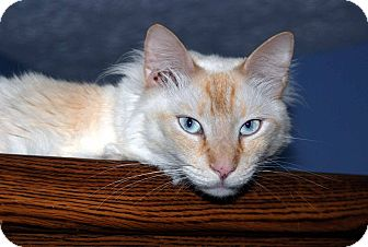 Domestic Longhair Cat for adoption in New Port Richey, Florida - Presley