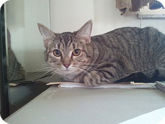 Domestic Shorthair Cat for adoption in Fairborn, Ohio - Lily (Tiger Lily)