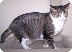 Domestic Shorthair Cat for adoption in Colorado Springs, Colorado - Big Ben