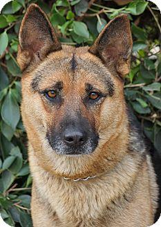 German Shepherd Dog Dog for adoption in Los Angeles, California - Athena von Akin